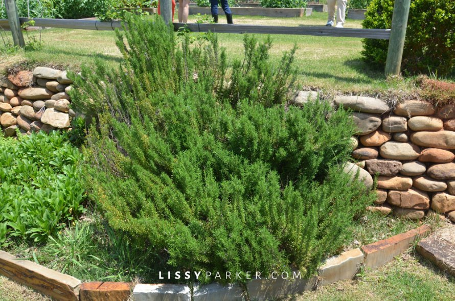 I love rosemary and this garden had it in abundance