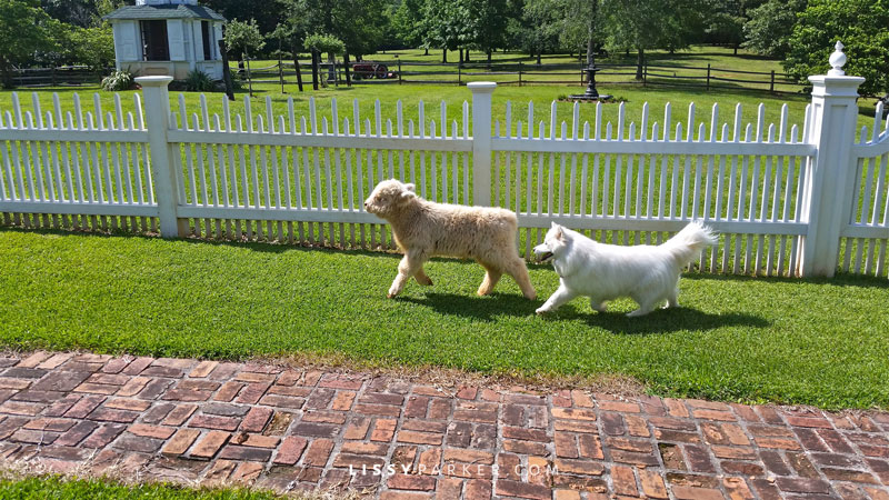 baby calf and dog running in the garden