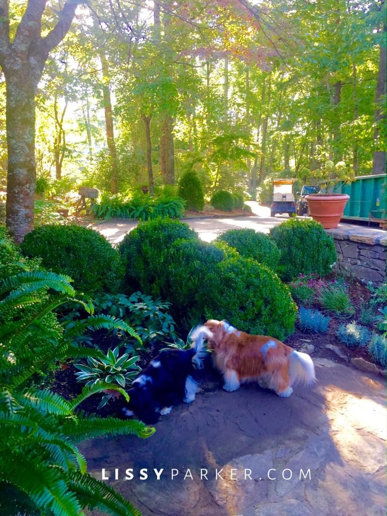 entry garden boxwoods