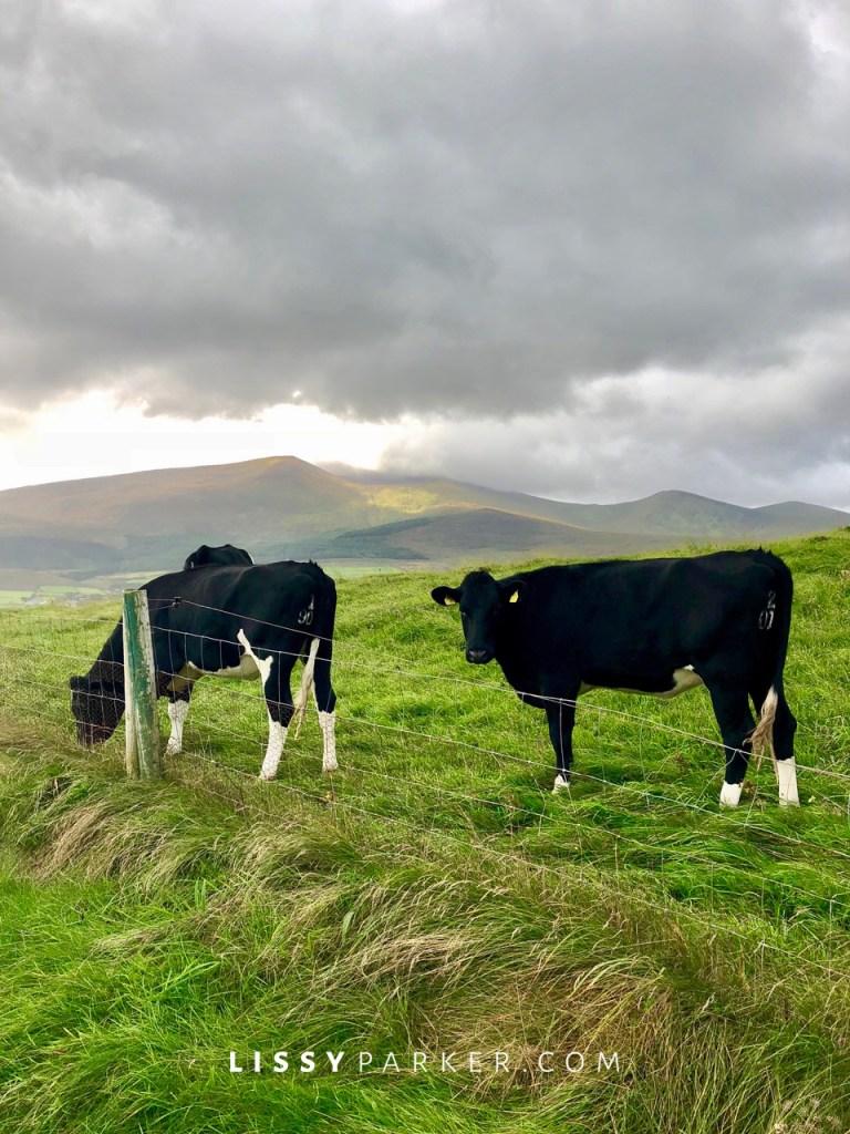 Irish cows