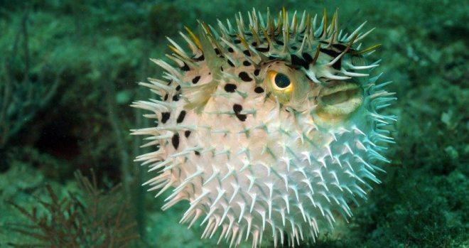 Blowfish or puffer fish in ocean - deadliest sea animals
