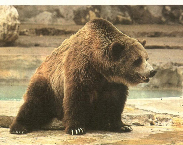 Mexican Grizzly Bear