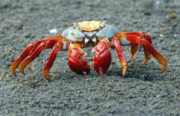 Sally-Lightfoot-Crab-Beautiful-Crab-2
