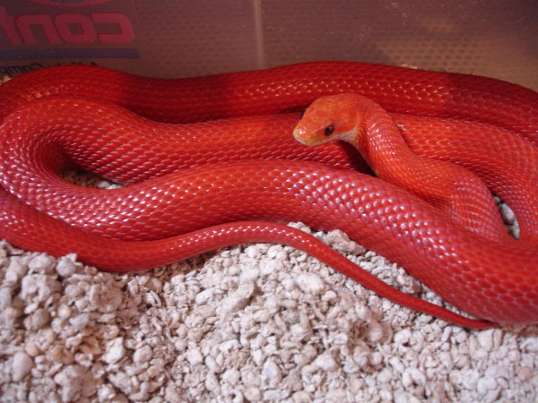 Bloodred Corn Snake