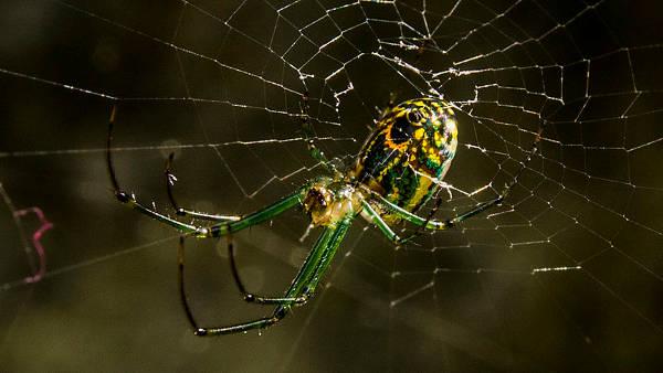 Orchard Spider