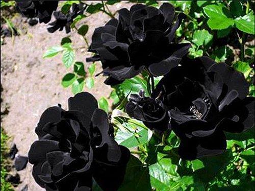 Black Roses of Halfeti Turkey