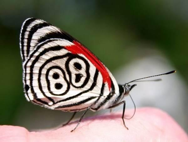 Eight Eye Butterfly