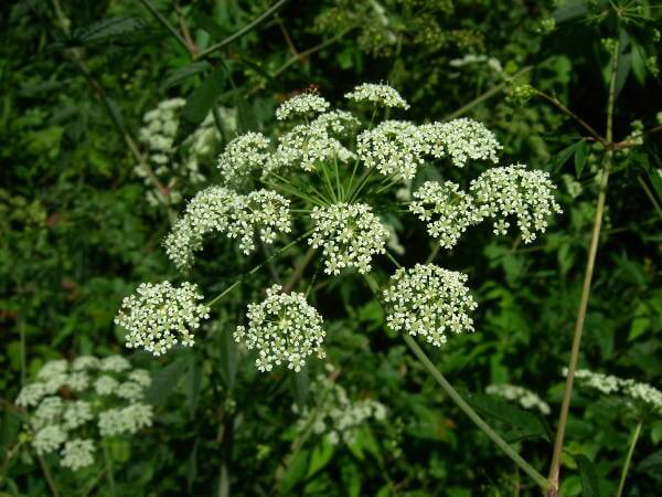 Poisonous Water Hemlock