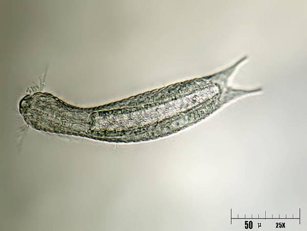 Gastrotrich