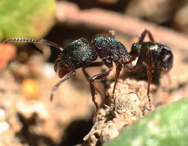 Pony Ant