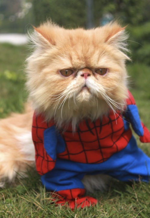 20 Adorable Cats Dressed as Superheroes: Spiderman