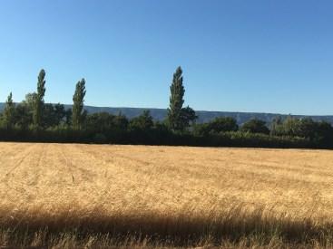 Campos de trigo - Provence