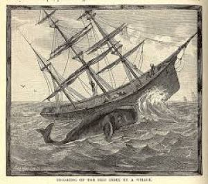 Whaleship Essex is attacked, pictured in this old drawing from the 1830's.