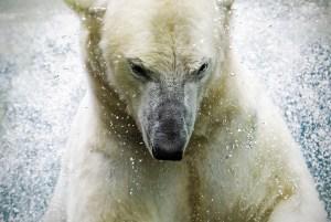 P olar Bear