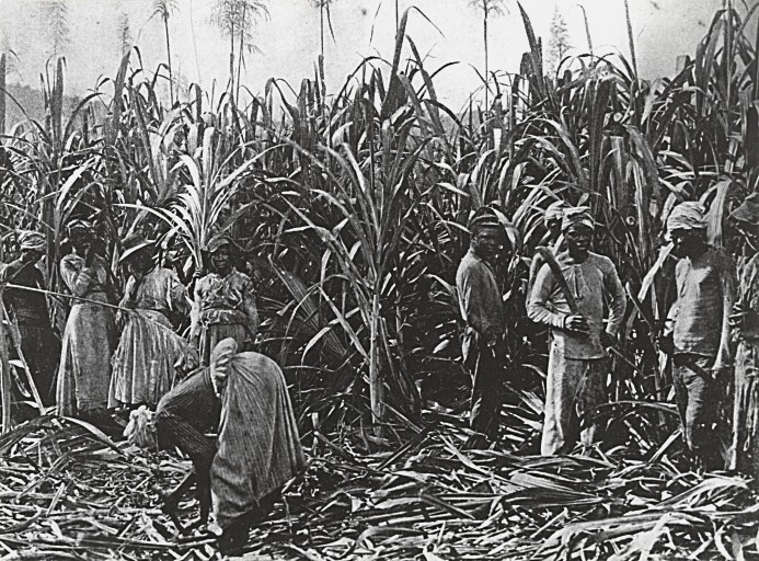 Slaves Cutting Down Sugar Cane On A Cuban Plantation