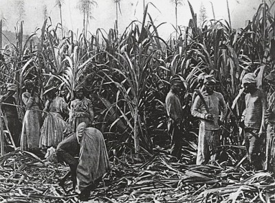 Slaves cutting down sugar cane on a Cuban sugar plantation