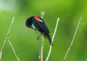 June - redwing blackbird in nearby wetland.