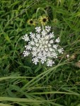 Recognizing beneficial umbels in the Apiaceae family