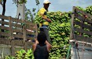 El Ministerio de Agricultura crea la Comisión Nacional del Plátano