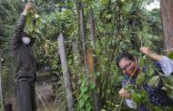 El poder curativo de las plantas en tiempos    de pandemia por coronavirus