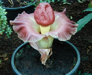 Amorphophallus