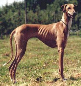 Listverse Rare Dog Breeds