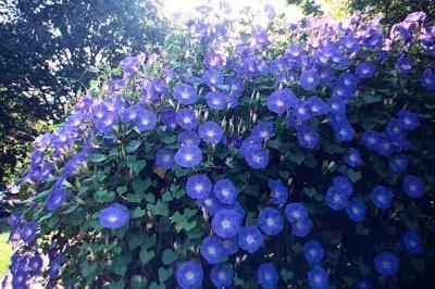 Ipomoea 'Heavenly Blue' (2)