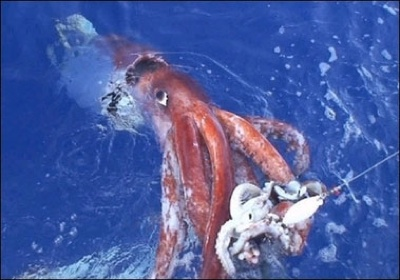 Colossal Squid03