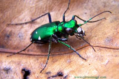 Green Tiger Beetle Med11