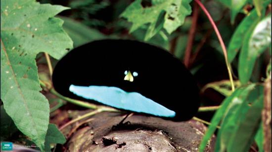 Bbc-Lifeis-Malebirdofparadise