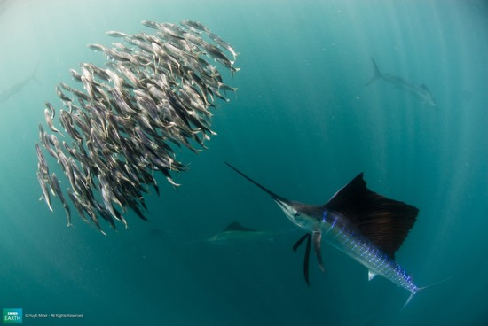 Bbc-Lifeis-Sailfish