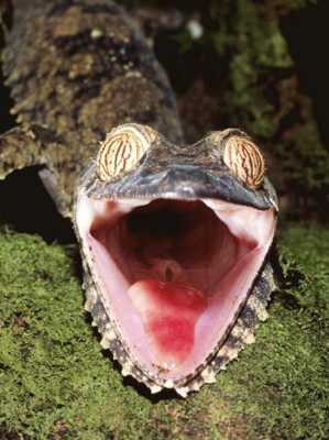 Oxford-Pete-Leaf-Tailed-Gecko-With-Open-Mouth-Nosy-Mangabe-Reserve-Madagascar