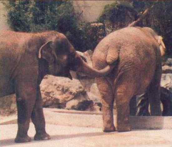 Elephant-Gross
