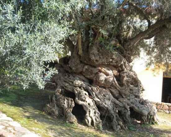 Olivetree