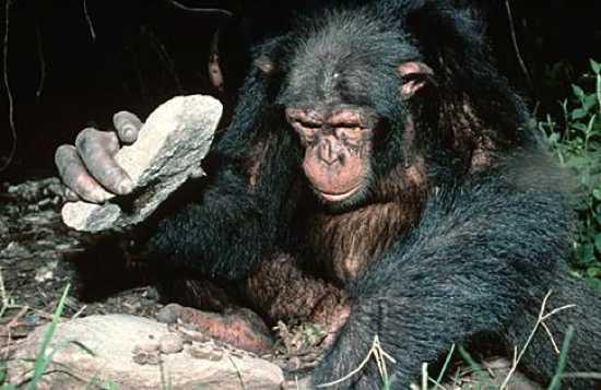 Chimp Anvil
