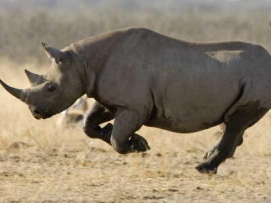 Black-Rhinoceros-7