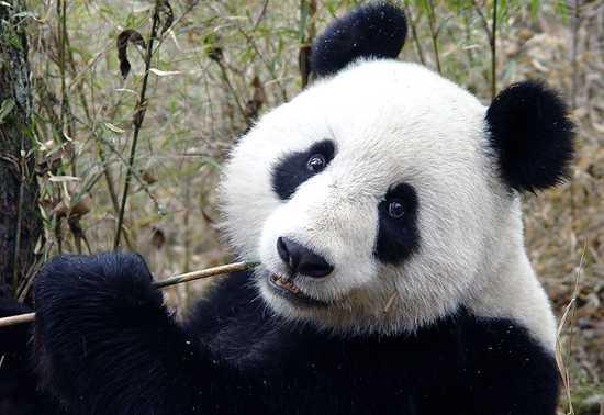 Panda0106