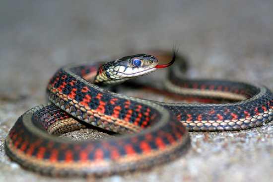 Red-Sided Garter Snake-1