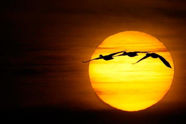 Sun-Huge-W-Three-Snow-Geese--Improved- V5W6852--Bosque-Del-Apache-Nwr,-San-Antonio,-Nm