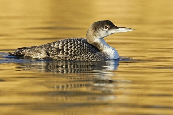 Eistaucher-Gavia-Immer-Great-Northern-Loon-Great-Northern-Diver-Or-Common-Loon