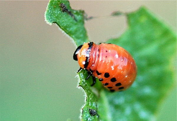 Col Colorado Potato Beetle Larva03