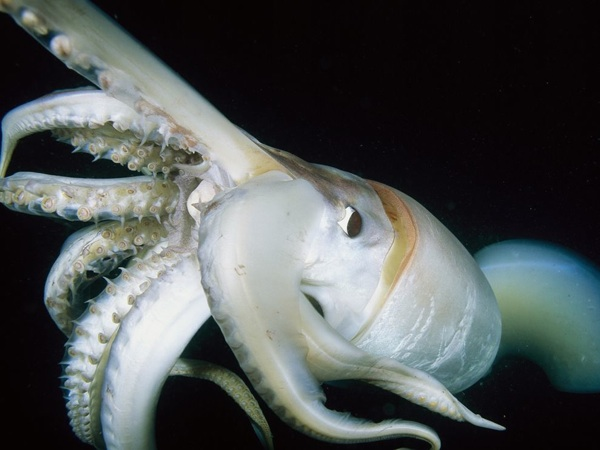 Giant-Squid-Close-Up-Skerry 18435 990X742
