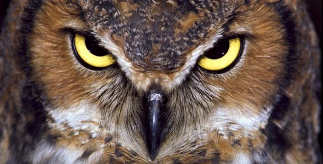 Great-Horned-Owl-flat-best-