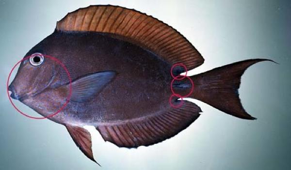 Surgeonfish-Brown-500