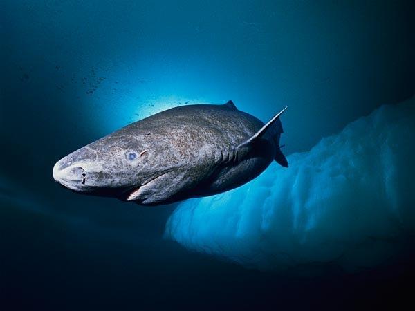Slowest-Shark-Eats-Sleeping-Seals-Greenland 58307 600X450