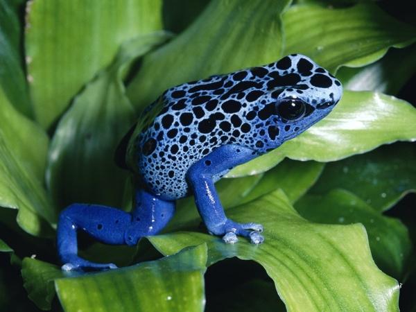 Blue-Poison-Dart-Frog2
