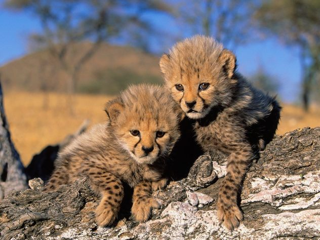 Tigers-Cheetah-Cubs-Picture
