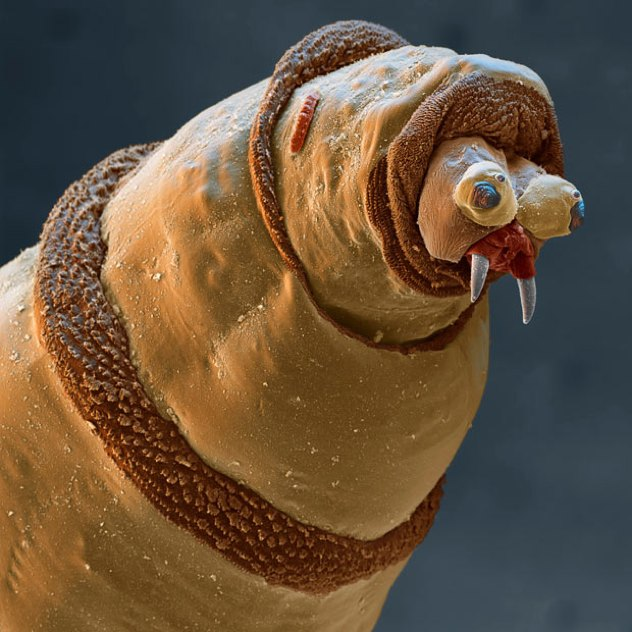 Bluebottle-Maggot 1689991I