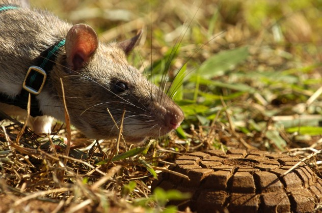 a_hero_rat_detects_a_landmine_1