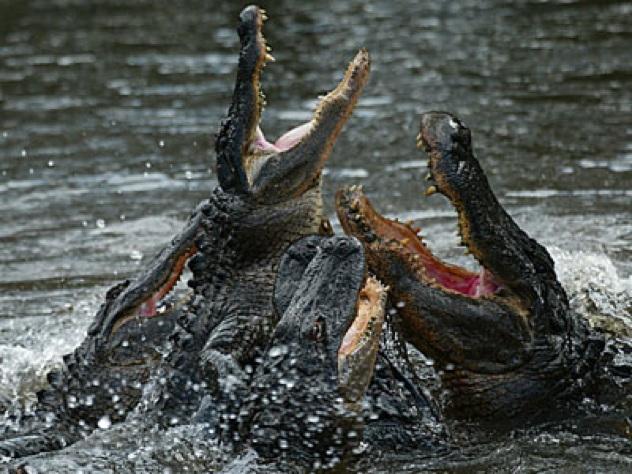 Alligator-Feeding-Frenzy